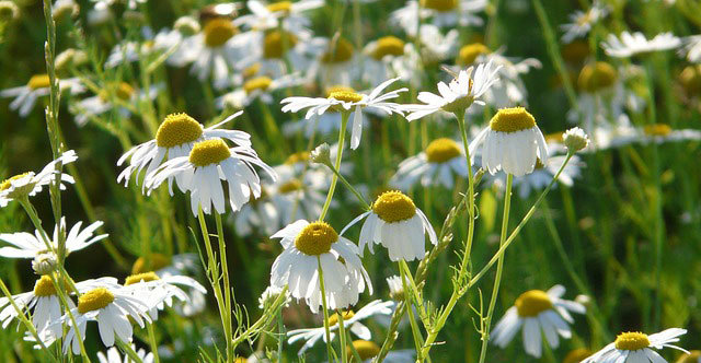 Herbal Sleep Remedies Chamomile