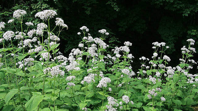 Herbal Sleep Remedies Valerian