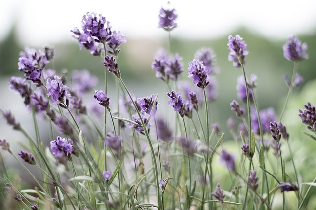Herbal Sleep Remedies Lavender